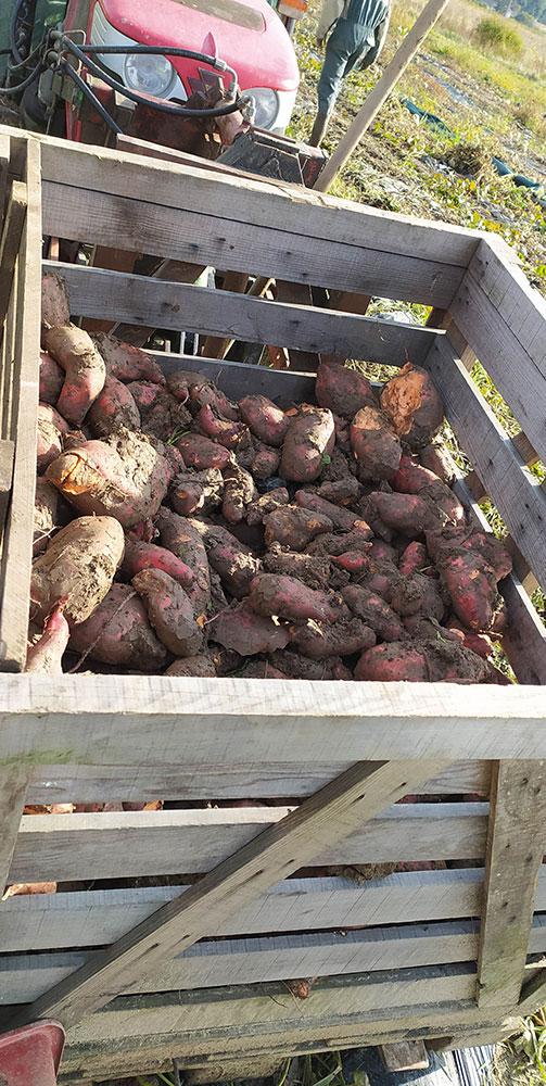 Ramassage de patate douces