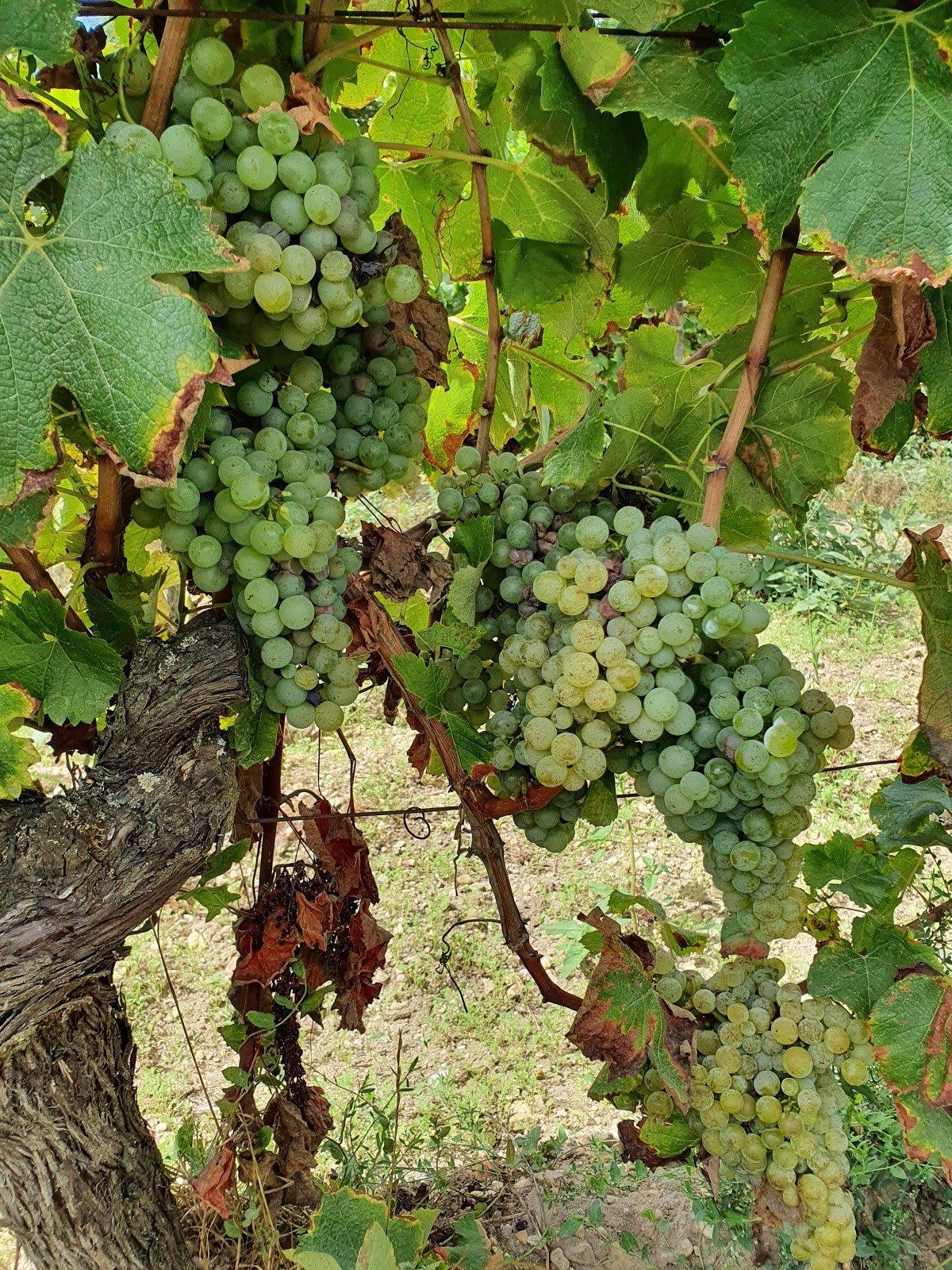 Vendanges Bordeaux Blanc