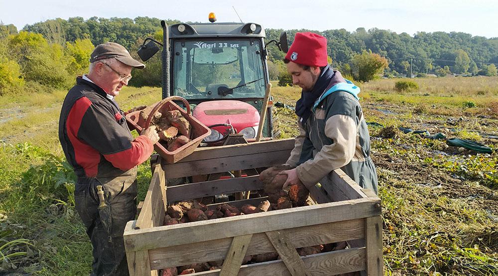 Ramassage des patates douces