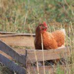 Poule en caisse